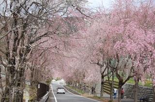 桃沢のしだれ桜.JPG